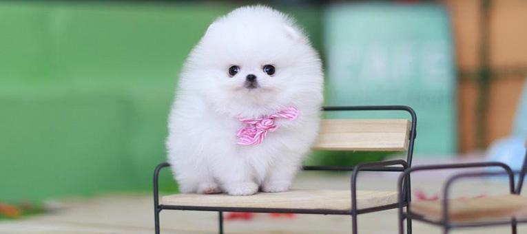 Najmniejsze psy na świecie szpic miniaturowy pomeranian