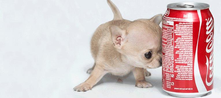 najmniejszy pies świata chihuahua
