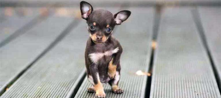 Najmniejszy pies świata ratlerek