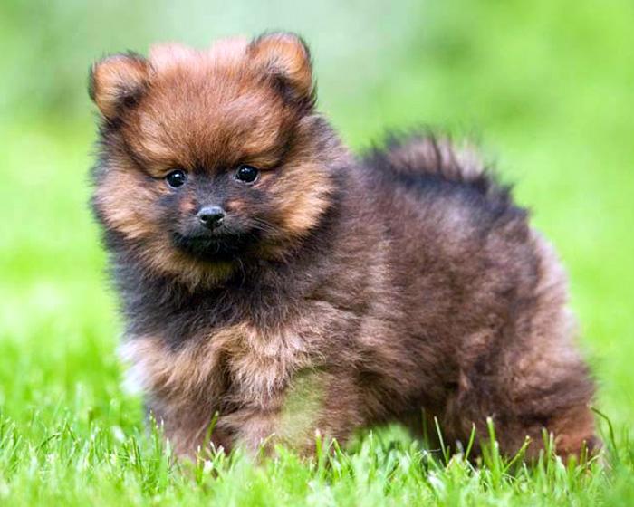 Nietypowy Okaz Szpic miniaturowy pomeranian - jaki to pies? - Sklep zoologiczny LC84