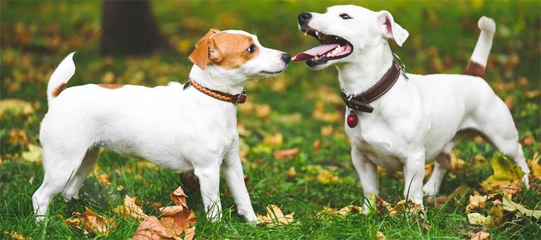 W jaki sposób komunikują się psy?