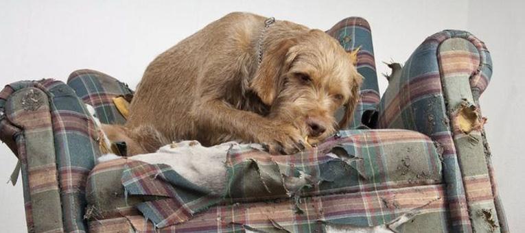dlaczego pies gryzie kanapę