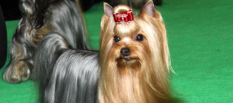 kokardka dla psa