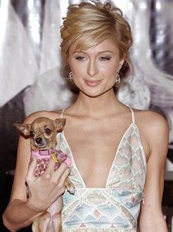 Paris Hilton ubranie dla chihuahua
