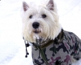 West Highland White Terrier Kato