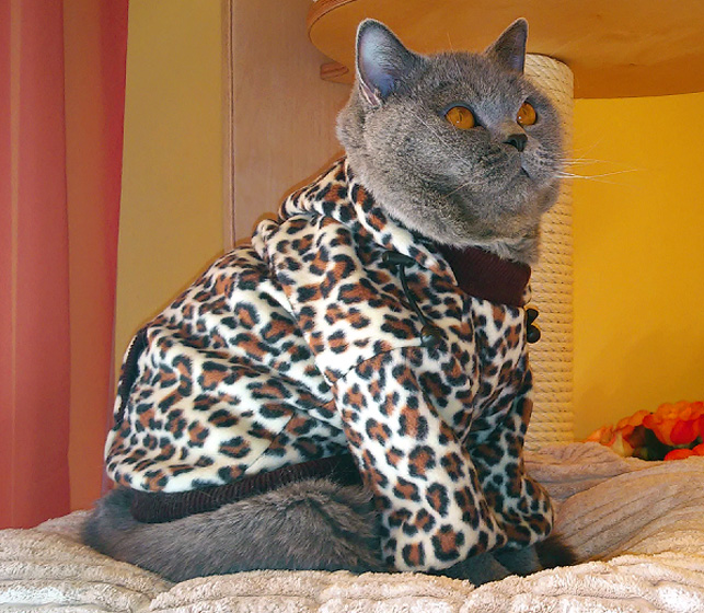 Preferowane Ubranko dla kota - Kot brytyjski IP Tiger Easy Bella* Pl VL-76